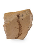 Fossils:Paleobotany (Plants), Fossil Leaf. Dawn Redwood. Metasequoia. Oligocene. Muddy Creek Formation. Beaverhead County, Montana, USA. 2.14 x 2.13 x 0...