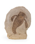 """Fossils:Fish, Fossil """"Sea Scorpion"""". Eurypterus remipes. Silurian. Fiddler Green Formation. Herkimer County, New York, USA. 5.11 x 3.69 ..."""