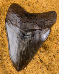 Fossils:Fish, Megalodon Shark Tooth. Carcharocles megalodon. Miocene. Morgan River. South Carolina, USA. 5.17 x 3.61 x 1.04 inches (13.1...