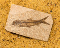 Fossils:Fish, Fossil Fish. Knightia sp.. Eocence. Green River Formation. Wyoming, USA. 2.88 x 1.86 x 0.19 inches (7.32 x 4.72 x 0.49 cm)...