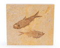 Fossils:Fish, Fossil Fish Plate. Diplomystus sp. and Knightia sp.. Eocence. Green River Formation. Wyoming, USA. 6.10 x 5.51 x 0.49 inch...