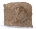 "Fossils:Arthropoda, Fossil ""Sea Scorpion"". Eurypterus remipes. Silurian. FiddlerGreen Formation. Herkimer County, New York, USA. 3.54 x 3.03..."