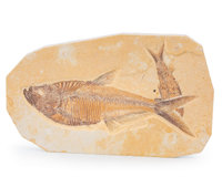 Fossil Fish Plate Diplomystus sp. Eocene Green River Formation Wyoming, USA 8.27 x 5.04 x 0.39 inch
