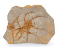 "Fossils:Echinoderms, Fossil Starfish Plate. ""Brittle Star"". Ophiuroidae sp.. Ordovician. Ktaoua Formation. Mecissi, Sahara Desert, Morocco. 8.7..."