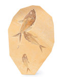 Fossils:Fish, Fossil Fish Plate. Diplomystus sp. . Eocene. Green River Formation. Wyoming, USA. 12.32 x 8.11 x 0.45 inches (31.30 x 20.6...