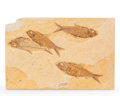 Fossils:Fish, Fossil Fish Plate. Diplomystus sp. and Knightia sp.. Eocene. Green River Formation. Wyoming, USA. 8.86 x 5.91 x 0.39 inche...