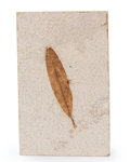 Fossils:Paleobotany (Plants), Fossil Leaf. Unidentified Species. Eocene. Green River Formation. Wyoming, USA. 5.36 x 3.36 x 0.35 inches (13.61 x 8.54 x ...