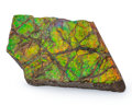 Fossils:Cepholopoda, Ammolite Fossil. Placenticeras sp.. Cretaceous. Bearpaw Formation. Southern Alberta, Canada. 4.75 x 2.89 x 0.70 inches (12...