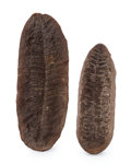 Fossils:Paleobotany (Plants), Fossil Fern (Set of 2). Pennsylvanian Fern Fossil. Maumee Chieftain Mine. Vigo County, Indiana, USA. 5.07 x 1.89 x 0.44 in... (Total: 2 Items)
