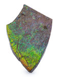 Fossils:Cepholopoda, Ammolite Fossil. Placenticeras sp.. Cretaceous. BearpawFormation. Southern Alberta, Canada. 4.87 x 2.96 x 0.41 inches(12...