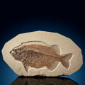 Fossils:Fish, Fossil Fish. Phareodus sp.. Eocene. Green River Formation. Wyoming, USA. ...