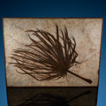 Fossils:Paleobotany (Plants), Fossil Palm Frond. Sabalites sp.. Eocene. Green River Formation. Wyoming, USA. ...