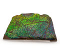 Fossils:Cepholopoda, Ammolite Fossil. Placenticeras sp.. Cretaceous. BearpawFormation. Southern Alberta, Canada. 3.68 x 1.90 x 0.55 inches(9....