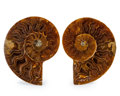 Fossils:Cepholopoda, Sliced Ammonite Pair. Cleoniceras sp.. Cretaceous. Madagascar.3.18 x 2.62 x 0.44 inches (8.08 x 6.66 x 1.11 cm). ... (Total:2 Items)