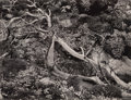 Photographs, Brett Weston (American, 1911-1993). Tree Roots with Succulents, 1951. Gelatin silver, printed later. 10-1/4 x 13-1/2 inc...