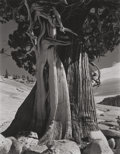 Photographs:Other, Edward Weston (American, 1886-1958). Juniper, Tanaya Lake, 1937. Gelatin silver, printed circa 1970s by Cole Weston. 9-1...