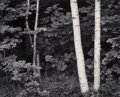 Photographs:Gelatin Silver, John Sexton (American, b. 1953). Birch Trees, Rockport, Maine, 1981. Gelatin silver, 1986. 14-7/8 x 18-1/2 inches (37.8 ...