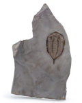 Fossils:Trilobites, Trilobite Fossil. Dalmanites limulurus. Middle Silurian. Rochester Shale. Middleport, New York, USA. 6.69 x 4.13 x 0.80 in...