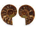 Fossils:Cepholopoda, Sliced Ammonite Pair. Cleoniceras cleon. Cretaceous. Madagascar.3.76 x 2.96 x 0.47 inches (9.55 x 7.53 x 1.20 cm). ... (Total:2 Items)