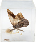 Music Memorabilia:Memorabilia, Elvis Presley Owned Butterfly in Acrylic Case from the Pool Room of Graceland(1970s)....
