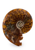 Fossils:Cepholopoda, Ammonite Fossil. Cleoniceras sp.. Cretaceous. Madagascar. 5.38 x4.56 x 1.34 inches (13.67 x 11.59 x 3.40 cm). ...
