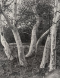 Photographs:Gelatin Silver, Imogen Cunningham (American, 1883-1976). Sycamore Trees and Datura (2 works), 1923. Gelatin silver, printed later. ... (Total: 2 )