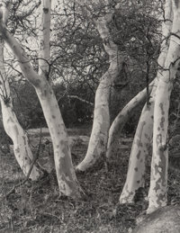 Imogen Cunningham (American, 1883-1976) Sycamore Trees and Datura (2 works), 1923 Gelatin