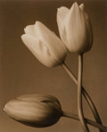 Photographs:Gelatin Silver, Frederic Ohringer (American, b. 1940). Untitled (Tulips),1993. Sepia toned gelatin silver. 10-1/8 x 8-1/4 inches (25.7 ...
