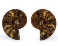 Fossils:Cepholopoda, Sliced Ammonite Pair. Cleoniceras sp.. Cretaceous. Madagascar. 3.80 x 3.04 x 0.47 inches (9.66 x 7.73 x 1.20 cm). ... (Total: 2 Items)