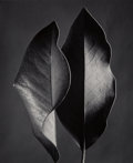 Photographs:Gelatin Silver, Ruth Bernhard (American, 1905-2006). Two Leaves, 1952. Gelatin silver, printed later. 19 x 15-1/2 inches (48.3 x 39.4 cm...