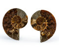 Fossils:Cepholopoda, Sliced Ammonite Pair. Cleoniceras sp.. Cretaceous. Madagascar.3.54 x 2.98 x 0.44 inches (8.98 x 7.57 x 1.11 cm). ... (Total:2 Items)