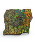 Fossils:Cepholopoda, Ammolite Fossil. Placenticeras sp.. Cretaceous. BearpawFormation. Southern Alberta, Canada. 3.96 x 3.91 x 0.47 inches(10...