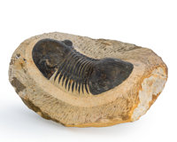 Trilobite Fossil Paralejurus sp. Devonian Morocco 3.80 x 3.13 x 1.59 inches (9.64 x 7.94 x 4.05 cm)