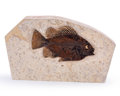 Fossils:Fish, Fossil Fish. Priscacara. Eocene. Green River Formation. Wyoming, USA. 8.46 x 5.20 x 1.18 inches (21.50 x 13.20 x 3.00 cm)...