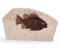 Fossil Fish Priscacara Eocene Green River Formation Wyoming, USA 8.46 x 5.20 x 1.18 inches (21.50 x