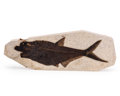 Fossils:Fish, Fossil Fish. Diplomystus . Eocence. Green River Formation. Wyoming, USA. 21.65 x 8.07 x 1.18 inches (55.00 x 20.50 x 3.00 ...