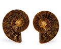 Fossils:Cepholopoda, Sliced Ammonite Pair. Cleoniceras sp.. Cretaceous. Madagascar. 4.02 x 3.35 x 0.60 inches (10.21 x 8.50 x 1.52 cm). ... (Total: 2 Items)