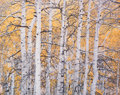 Photographs:Dye destruction, Christopher Burkett (American, b. 1951). High Mountain Aspens, Colorado, 1993. Dye destruction. 19-1/4 x 23-1/4 inches (...