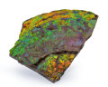 Fossils:Cepholopoda, Ammolite Fossil. Placenticeras sp.. Cretaceous. Bearpaw Formation. Southern Alberta, Canada. 5.33 x 4.03 x 0.61 inches (13...