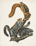 Books:Natural History Books & Prints, J. J. Audubon. Cat Squirrel. Philadelphia: 1843. From the first imperial folio edition of Quadrupeds.. ...