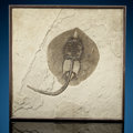 Fossils:Fish, Fossil Stingray. Asterotrygon maloneyi. Eocene. Green River Formation. Wyoming, USA. ...