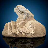 Oreodont Skull with Vertebrae Merycoidodon sp. Late Oligocene Brule Formation White River Badlands, So