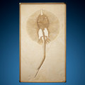 Fossils:Fish, Fossil Stingray. Heliobatis radians. Eocene. Green River Formation. Wyoming, USA. ...