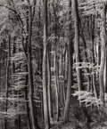 Photographs:Gelatin Silver, Brett Weston (American, 1911-1993). Forest, Netherlands, 1971. Gelatin silver, printed later. 9-3/8 x 7-3/4 inches (23.8...