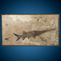 Fossils:Fish, Fossil Paddlefish. Crossopholis magnicandatus. Eocene. Green River Formation. Wyoming, USA. ...