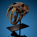 Fossils:Mammals, An Extremely Rare Saber-Tooth Cat Skull - The Iconic American Fossil. Smilodon fatalis. Pleistocene. Rancho La Bre... (Total: 5 Items)