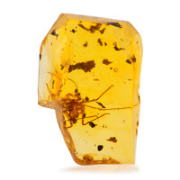 Amber with Inclusions Hymenaea protera Oligocene Dominican Republic