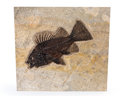 Fossils:Fish, Fossil Fish. Priscacara sp.. Eocene. Green River Formation. Wyoming, USA. 12.20 x 11.02 x 0.79 inches (31....