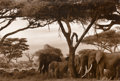 Photographs:20th Century, Peter Beard (American, b. 1938). Gardeners of Eden (Baboons, impalas and elephants under Kilimanjaro), 1984. Gelatin sil...