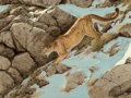 Fine Art - Painting, American, Guy Joseph Coheleach (American, b. 1933). Mountain Lion. Oil on board. 29-1/2 x 40 inches (74.9 x 101.6 cm). Signed lowe...